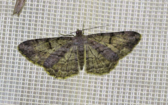 Rauten-Rindenspanner (Peribatodes rhomboidaria)