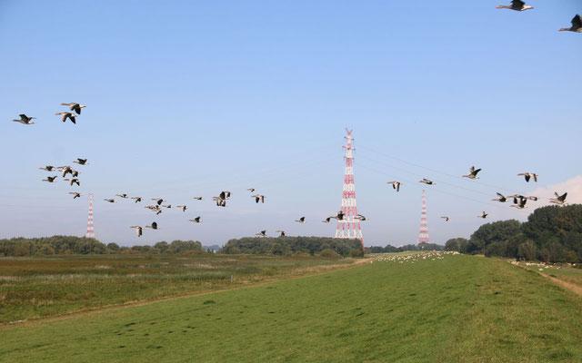 Überlandleitungen über Flüsse werden häufig zu Todesfalle ziehender Vögel