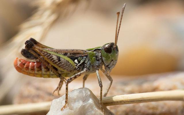 Die Gefleckte Keulenschrecke (Myrmeleotettix maculatus) liebt es wie die...
