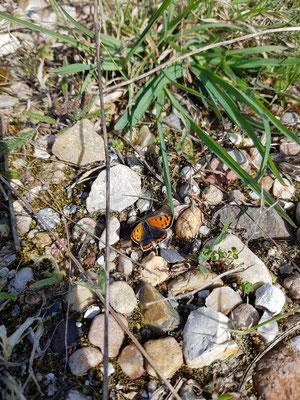 Der Kleiner Feuerfalter (Lycaena phlaeas) ist bereits ab April anzutreffen.