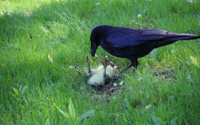 Rabenkrähen und Möwen erbeuten regelmäßig junge Graugänse