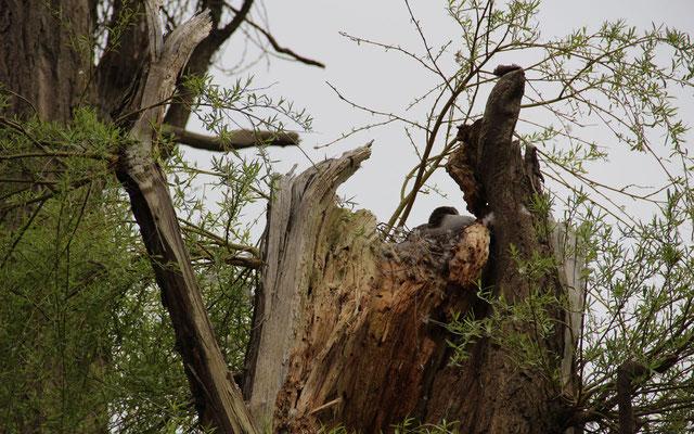 Auch abgebrochene Bäume können als Nistplatz dienen