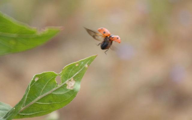 Abfliegender Marienkäfer