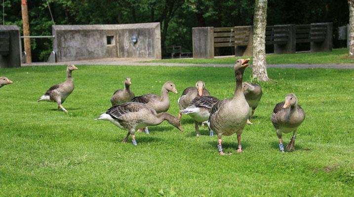 Graugansfamilie in Farmsen