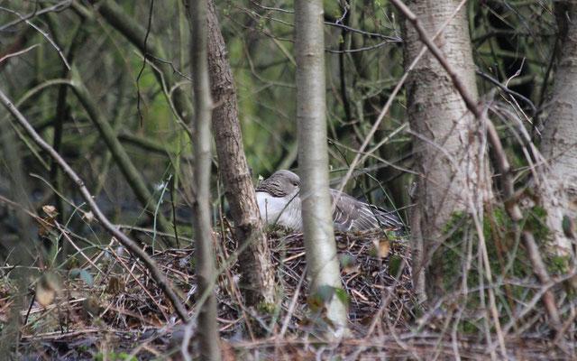 Die Nester der Graugänse sind oft gut getarnt