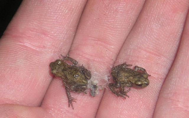 Junge Erdkröten kurz nach der Metamorphose. (Foto: S. Hinrichs)