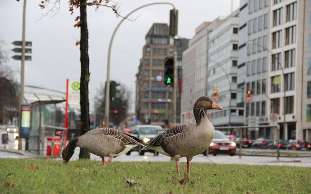 Auf Verkehrsinseln gibt es kaum Störungen durch Spaziergänger oder Hunde