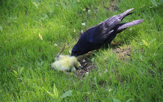 Rabenkrähen erbeuten regelmäßig junge Graugänse