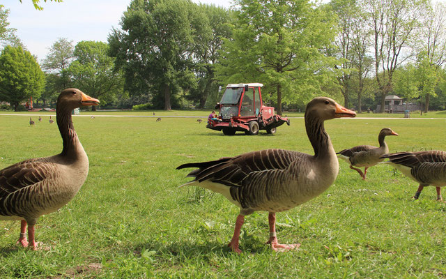 """Nahrungskonkurrent"" im Park"