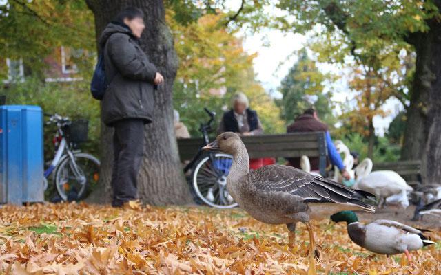 Junge Saatgans sucht Anschluss an andere Gänse im Eichenpark