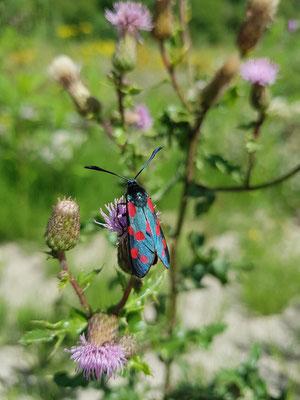 Sechsfleck-Widderchen (Zygaena filipendulae) Mitte Juli