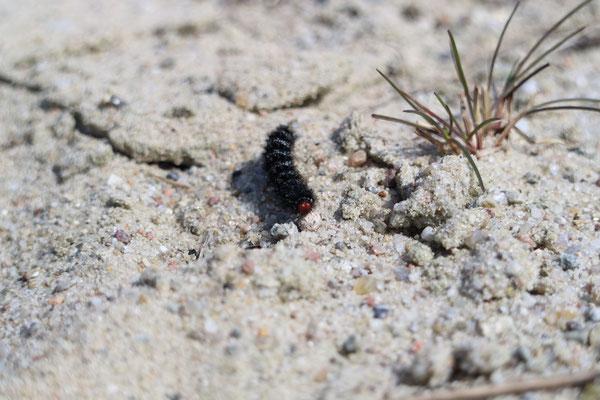 Beim Entfernen der Sprossen vom Schachtelhalm kreuzte Mitte April eine Raupe vom Wegerich-Scheckenfalters (Melitaea cinxia) unseren Weg.