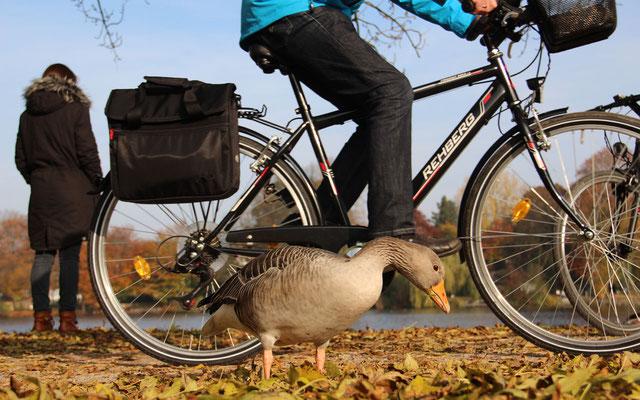 An den Radverkehr haben sich die Gänse gewöhnt