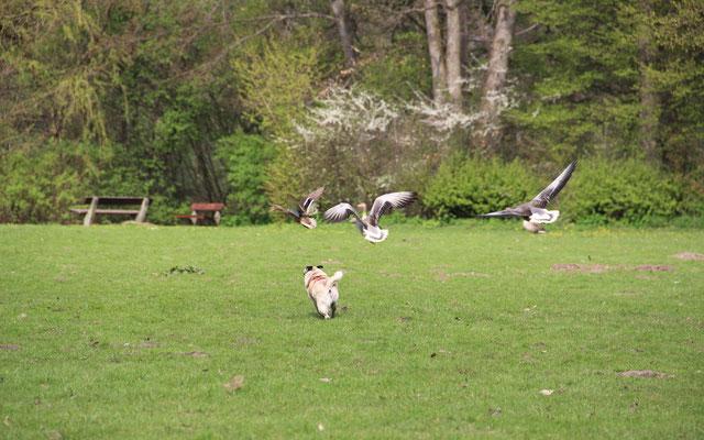 In manchen Gebieten werden Wasservögel im Minutentakt von Hunden gejagt