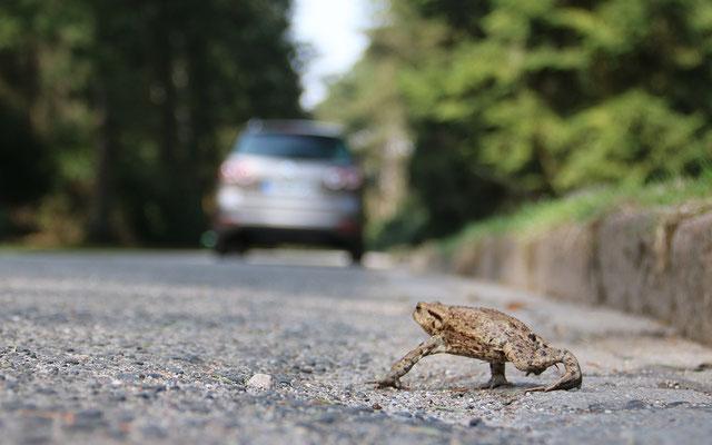 Hohe Kantsteine stellen für viele Amphibien ein unüberwindbares Hindernis dar. (Foto: S. Hinrichs)