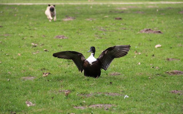 Einzelne Besitzer hetzen ihre Hunde gezielt auf Wasservögel und betreiben somit Wilderei