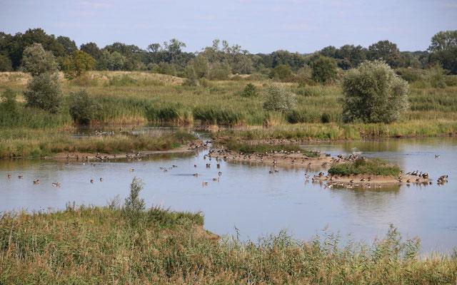 Ehemalige Kleientnahmestellen sind beliebte und wichtige Rast- und Brutplätze für unzählige Wasservögel