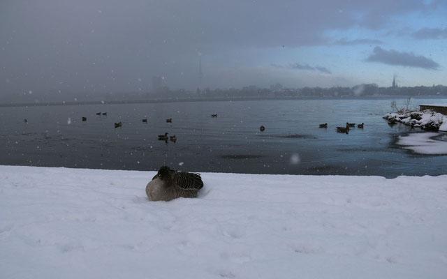 Spätestens wenn es schneit droht Nahrungsmangel und die Gänse müssen die Stadt verlassen