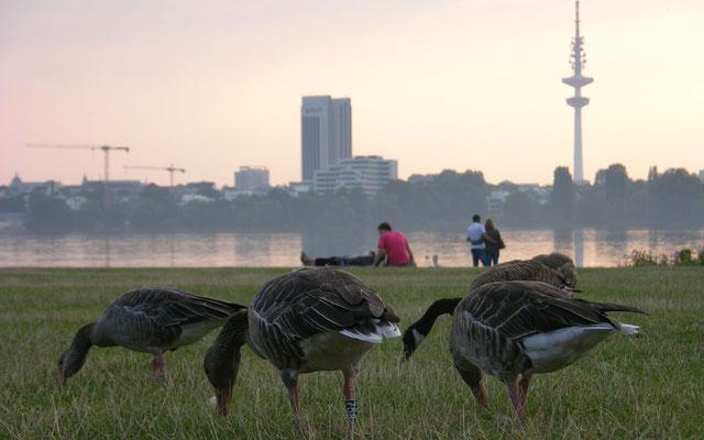 Im Park am Schwanenwik befindet sich die einzige größere Rasenfläche an der östlichen Außenalster