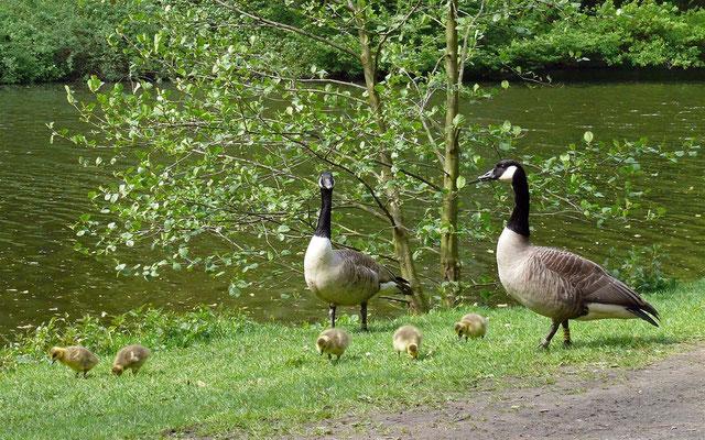 Auf den ersten Blick scheint hier eine ganz normale Kanadagansfamilie zu grasen | Foto: C. Löffel