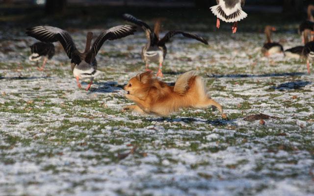 Trotz Verbot jagen Hunde regelmäßig Wildtiere und vielen Besitzern ist das leider völlig egal