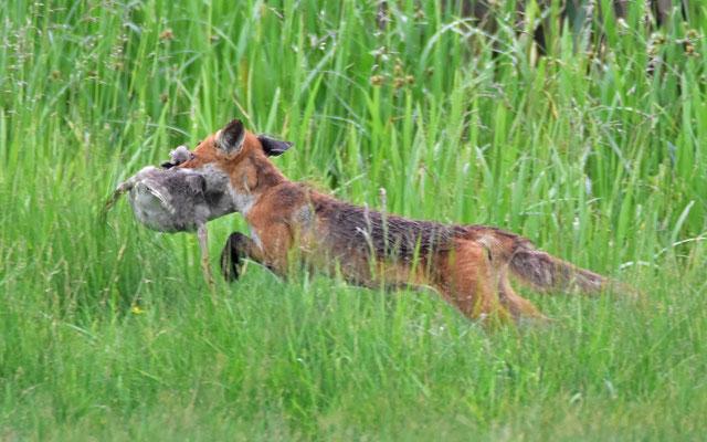 Füchse folgen ihrer Nahrung und leben in vielen Grünanlagen Hamburgs | Foto: H. Daum