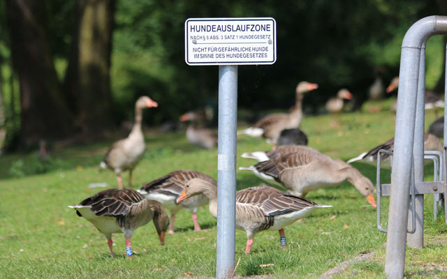 Durch solche Fehlplanungen werden etliche Wasservögel gefährdet