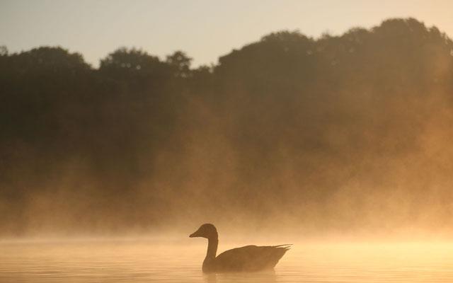 Gans früh am Stadtparksee
