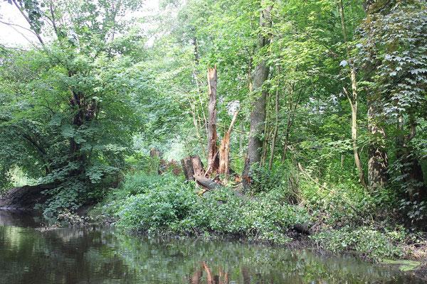 Vom Sturm umgeknickte Bäume bleiben als wertvolles Totholz in der Alster.