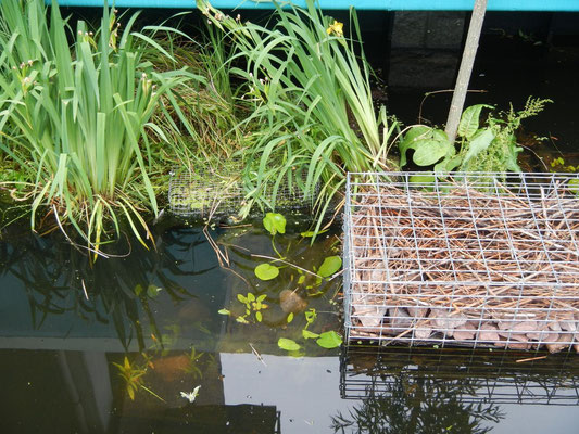 Im Juli wurde auch die Unterwasservegeation eingebracht. Bald sollen hier auch Teichrosen blühen  (Foto: M. Buchwald).