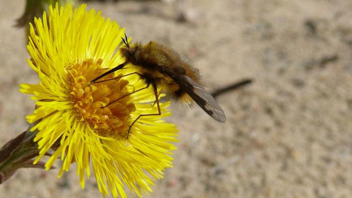 Ein Wollschweber. Er schießt seine Eier im Flug in die Brutröhren von Sandbienen. die daraus schlüpfenden Larven fressen zuerst den Pollenvorrat und dann die Larven der Wildbiene  (Foto: K. Wesolowski).