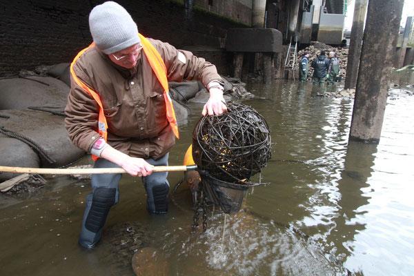 An einer Weidenkugel, die noch im Wasser lag, ließen sich einige wirbellose Tier fangen - vor allem Flohkrebse fielen in den Kescher(Foto: A. Lampe).