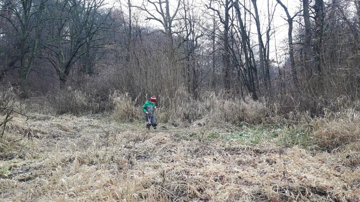 Die Weidenschößlinge wurden von dem jüngsten Helfer Jakob mit der Astschere dicht über dem Boden geschnitten (Foto: A. Lampe).