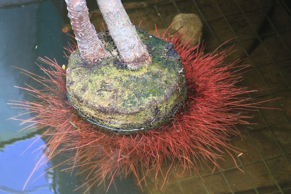 Das Wurzelwerk der Weiden, die wir im Bootsinneren platziert haben, leuchtet in strahlendem Rot  (Foto: A. Lampe).
