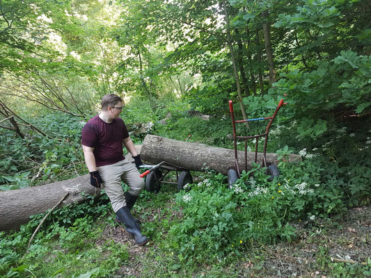 Ein 2,50 m langes Eschenstammstück muss man erstmal bewegt kriegen. Man braucht zwei Schwerlastsackkarren und ordentlich Müsli zum Frühstück (Foto: Andreas Lampe).