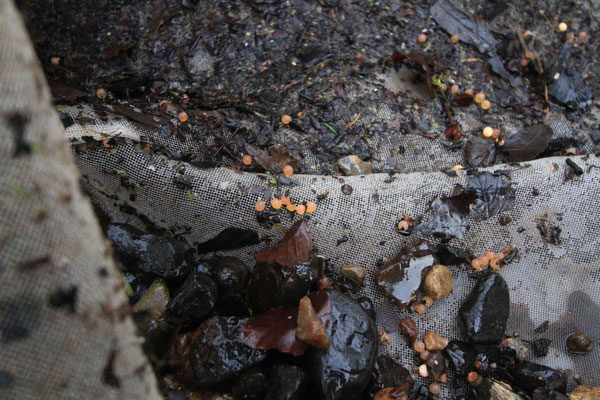 Das Ergebnis sieht dann so aus: Eier in dem Gemisch aus Kies, Sand und organischem Material wie Blätter (Foto: A. Lampe).