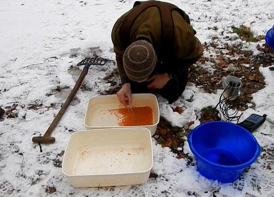 Der Fischlaich wird auf abgestorbene oder beschädigte Eier untersucht. Diese werden aussortiert (W. Hammer)