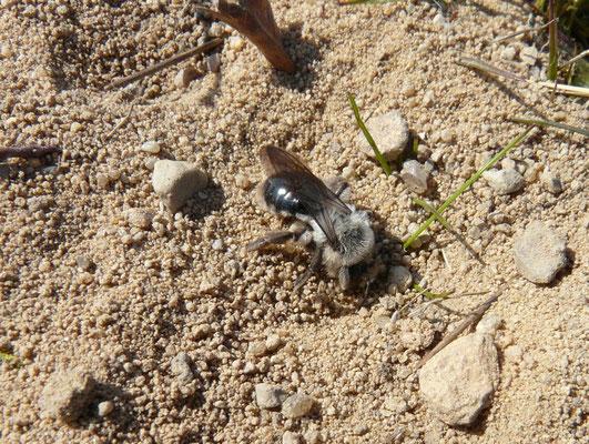 Eine Pelzbiene (Foto: K. Wesolowski)