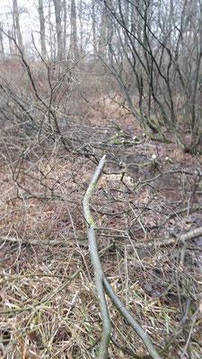 Weiden wuchsen weit in die Wiese rein und wurde mit der Motorsäge gekürzt. Man nennt das auf den Stock setzen (Foto: A. Lampe).