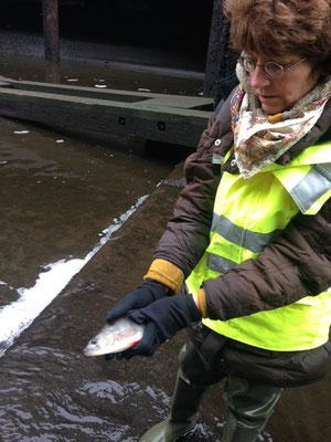 Frau Dr. Klocke, geschäftsführender Vorstand der Stiftung Lebensraum Elbe, kommt einem auf Grund gelaufenen Flussbarsch zu Hilfe (Foto: A. Lampe).