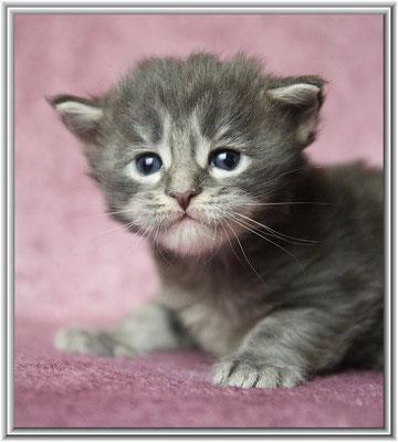 Maine Coon Kitten blue tabby