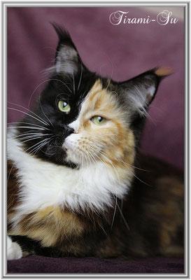 Maine Coon Katze Tirami-Su 16 Monate