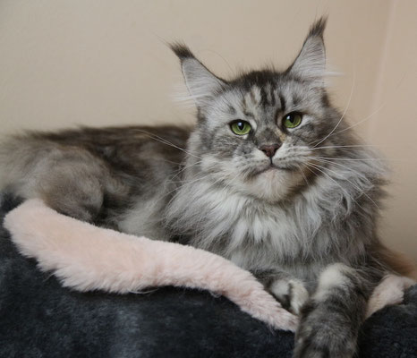 Maine Coon Lady Mary 5 Jahre