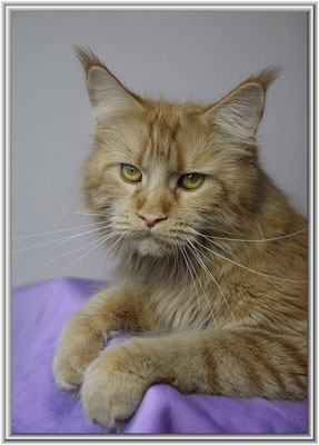 Maine Coon Mädchen in rot