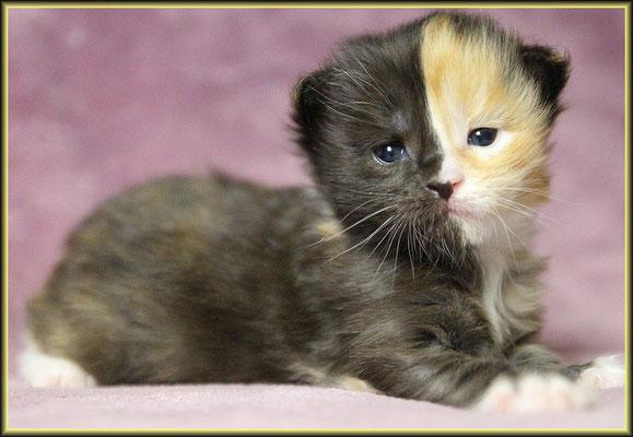Maine Coon Kitten Tirami Su