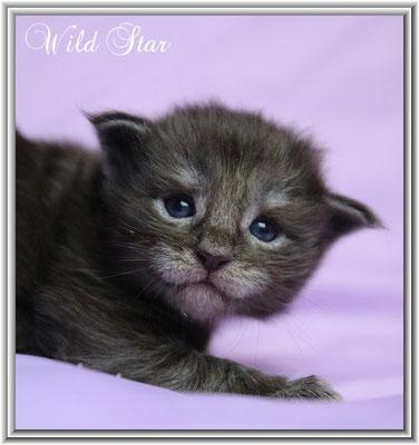 Wild Star Maine Coon Kitten bllack smoke 18 Tage