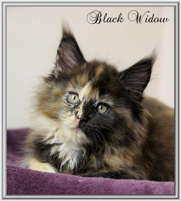 Black Widow 9,5 Wochen