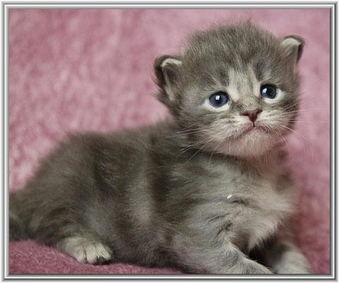 Maine Coon Kitten blue tabby classic