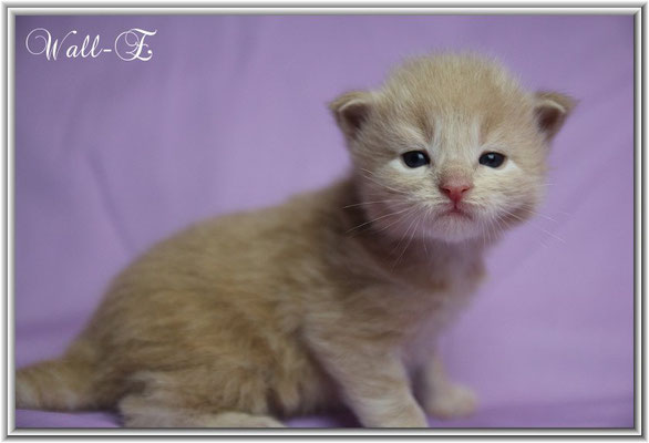 Wall-E 18 Tage- cream silver tabby classic Maine Coon Kitten