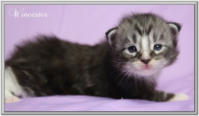 Wincester 18 Tage jung - Maine Coon black silver classic tabby white